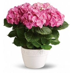 Happy Hydrangea - Pink to Angeles City