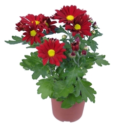 send red bloom daisy plant in pot to angeles city
