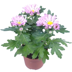 send pink bloom daisy plant in pot to angeles city