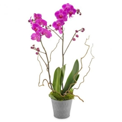 send moth orchid flower plant to angeles city