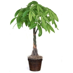 order online braided money tree to angeles city
