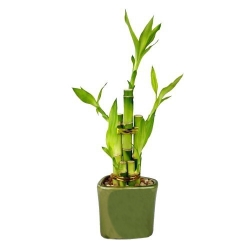 send lucky bamboo arrangement to angeles city