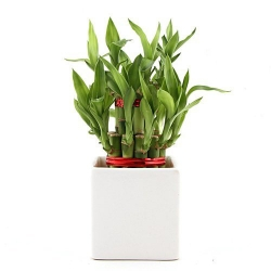 send 2 layers luck bamboo plant to angelescity philippines