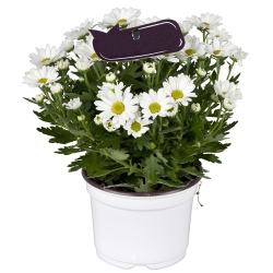 send daisy white blend of colors plant to angeles city