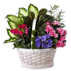send mixed indoor green plants basket to angeles city