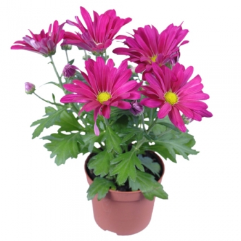 send hot pink daisy plant in pot to angeles city