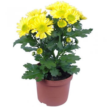 send yellow daisy plant in pot to angeles city
