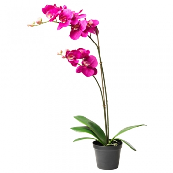 send colorful dendrobium orchid plant to angeles city