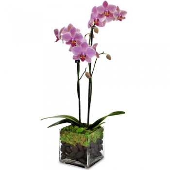 send soft pink mini orchid plant in pot to angeles city