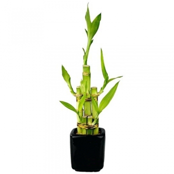 send classic bamboo plant to angeles city