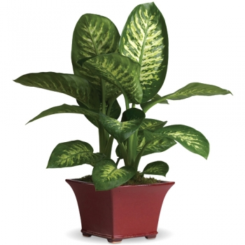 send delightful dieffenbachia to angeles city