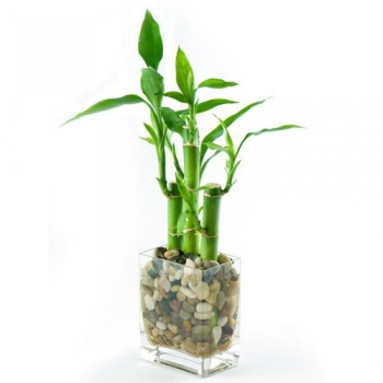 send fortune lucky bamboo plant to angeles city
