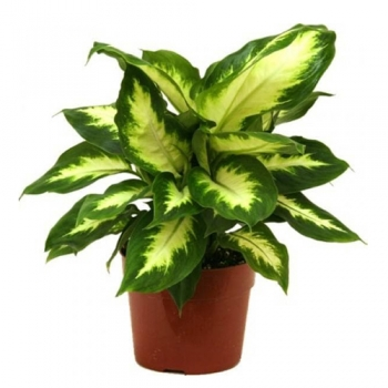 send dieffenbachia camilla plants to angeles city